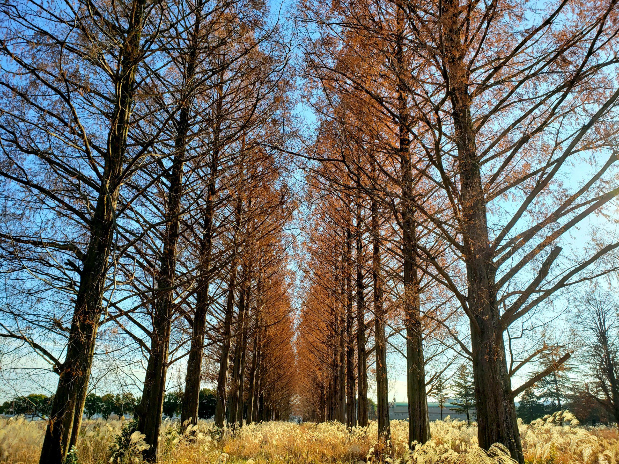 旧秋川高校のメタセコイヤ並木