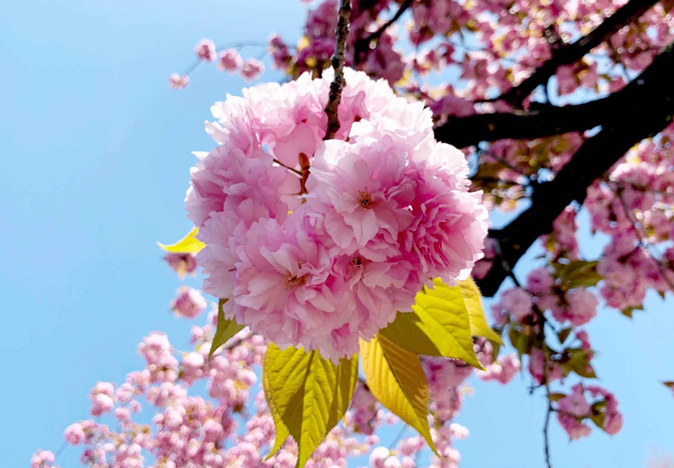 瑞穂町スカイホールの八重桜